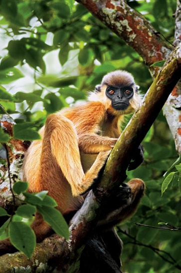 Buff bellied Langur