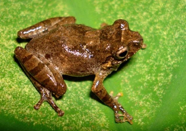 Garo Hills Bush Frog