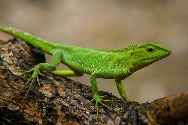 Khasi Hills Forest Lizard