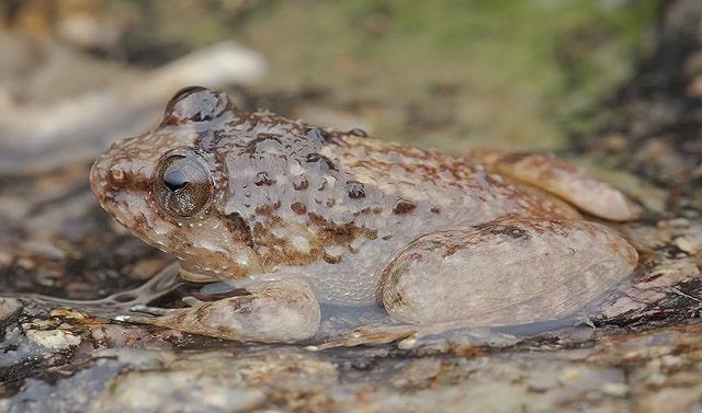 Khasi Hills Frog