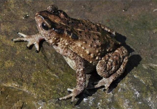 Nagaland Montane Torrent Toad