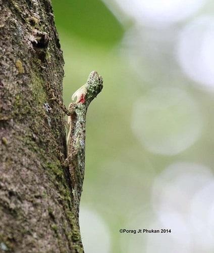 Norvill's Flying Lizard