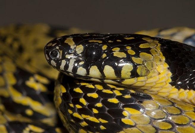 Sikkim False Wolf Snake