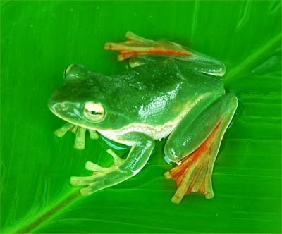 Suffry Flying Frog