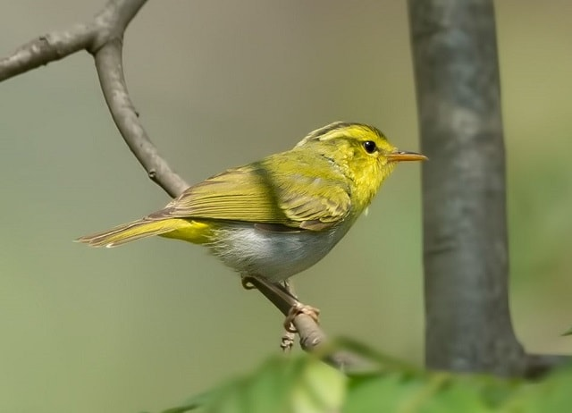 Yellowfaced Leaf Warbler