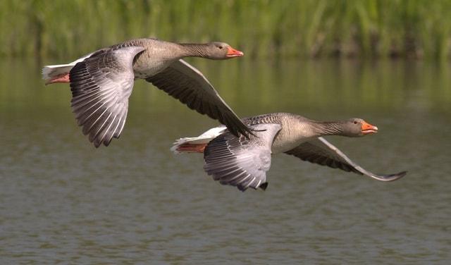 GEESE IN BHARATPUR BIRD SANCTUARY