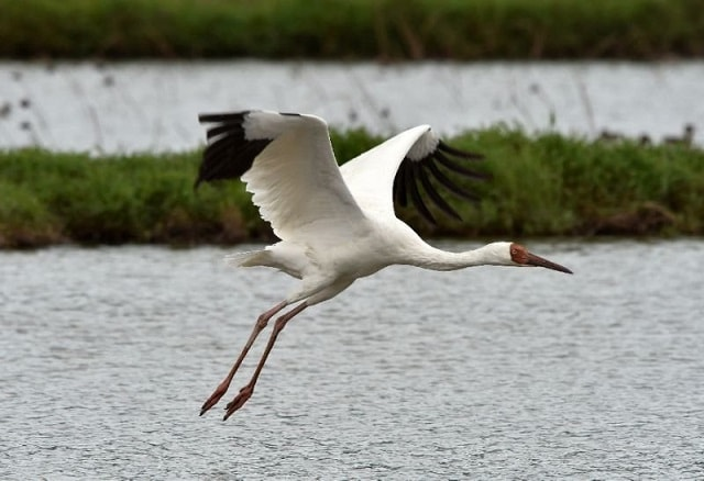 SIBERIAN CRANE in Bharatpur Bird Sanctuary