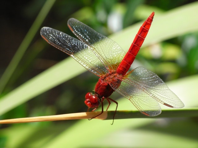 dragonflies populations in NE India