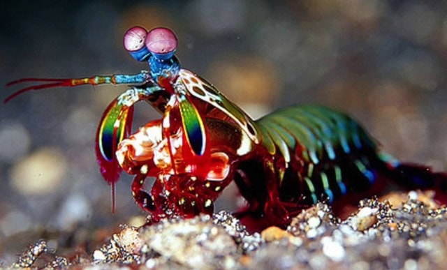 peacock mantis shrimp facts