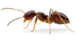 Tawny Crazy ant